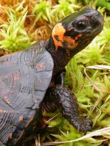 homepage bog turtle